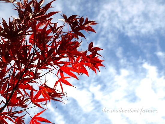 Red leaf japanese maple blue sky