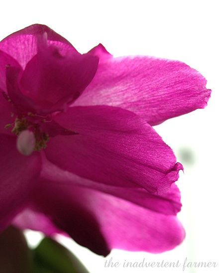 Hot pink christmas cactus macro window sunroom