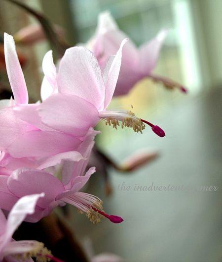 Christmas cactus pink sunroom