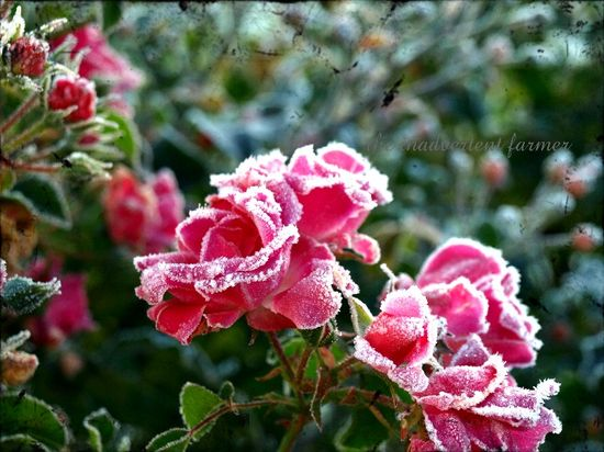 Winter rose spray frost 09