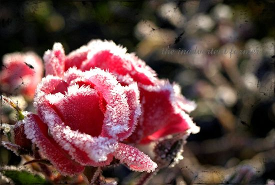 Pink winter rose frost 09