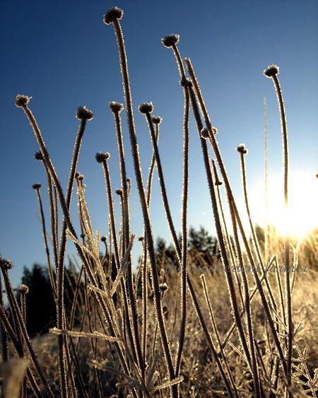 Winter blue sky frost sunrise seedhead grass