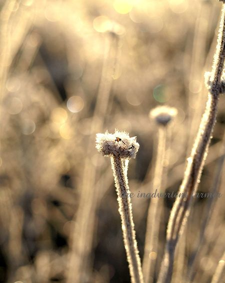 Weed grass sunrise seedhead daisy frost winter