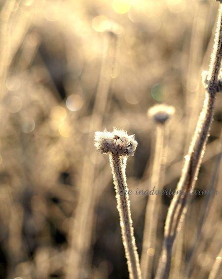 Weed grass sunrise seedhead daisy frost winter