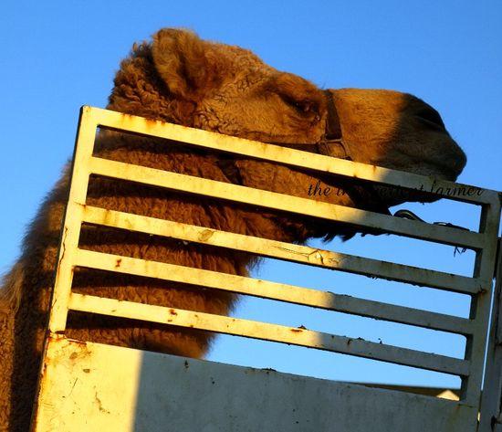 Camel revenge