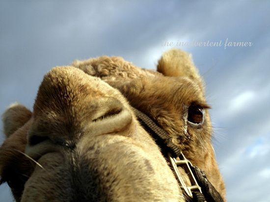 Gizmo camel macro blue sky winter