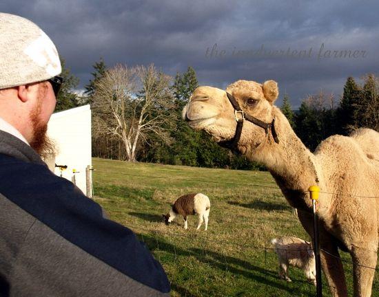 Camel llamas goat neck
