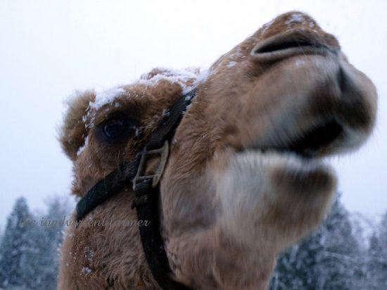 Camel gizmo winter snow