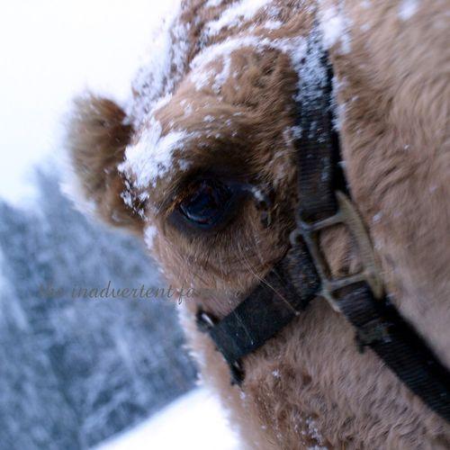 Camel eye winter snow