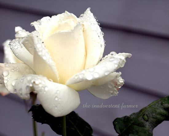 White rose bloosom rain perfect