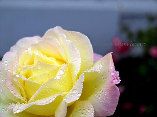 Yellow rose pink white rain dew open