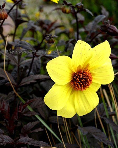 Butterscotch chocolate flower