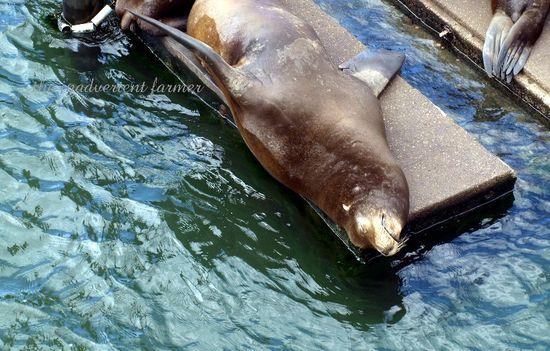 Sea lion sleep dock astoria