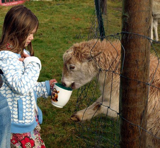 Girl goat feed pygmy farm tigger
