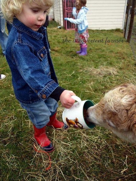 Toddler boy goat pygmy farm blond feed