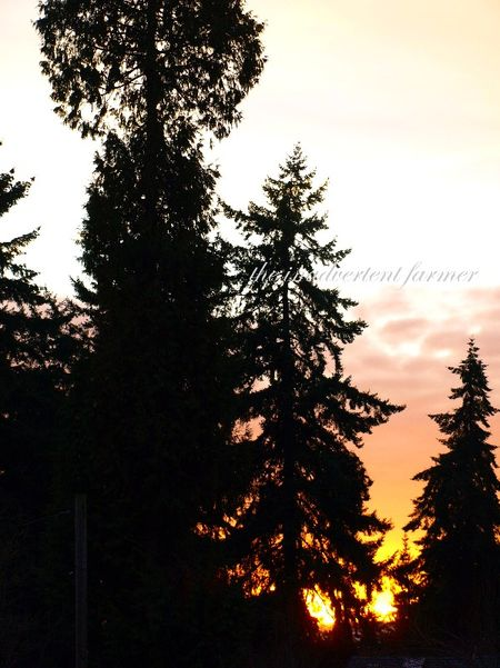 Evergreen fir sunset cedar