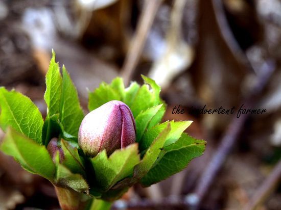 Helleborus winter rose white pink bud macro