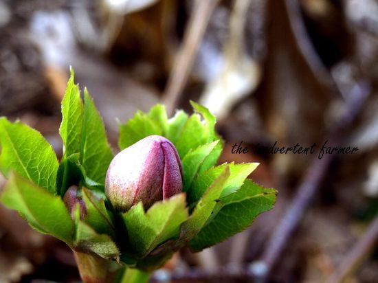 Helleborus winter rose white pink bud macro
