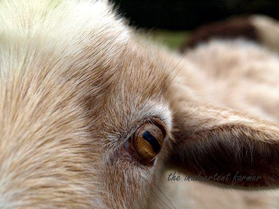 Little pygmy goat eye ear