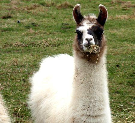 Llama baby white black