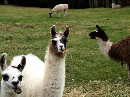 Llamas baby black white herd