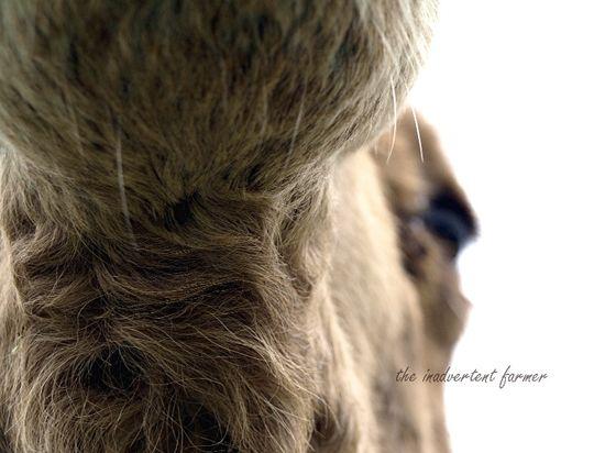 Llama camel chin beard