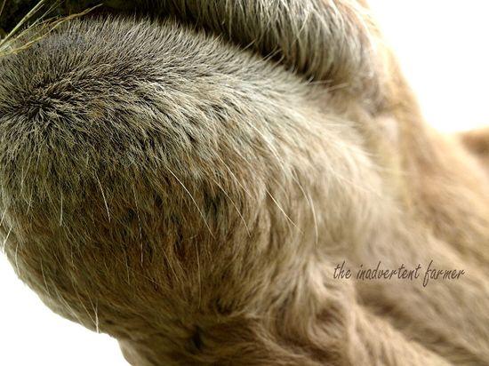 Llama camel chin hairs