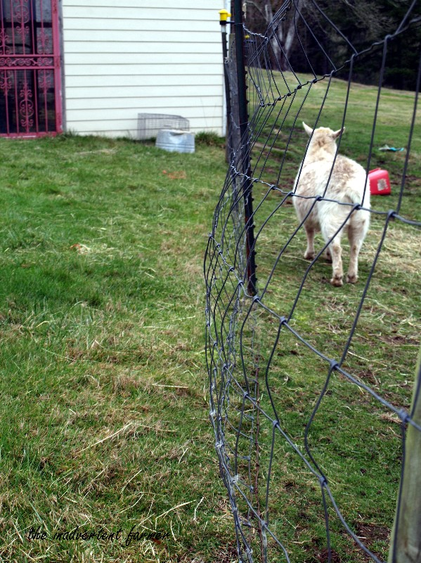 The Pygmy Goat the my Fence - The Inadvertent Farmer