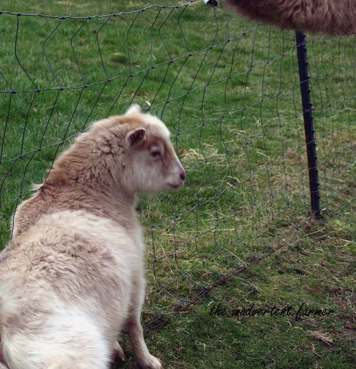 Goat fence camel