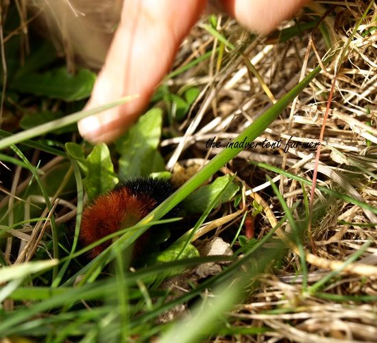 Wooly caterpillar grass finger baby