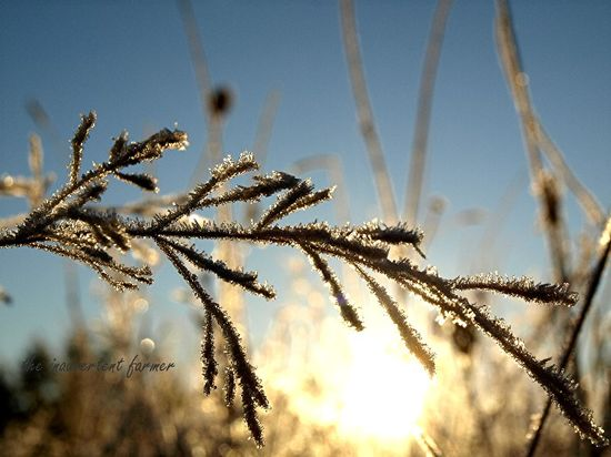 Frosty weed grass sunrise