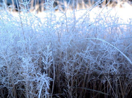 Frosty weeds field