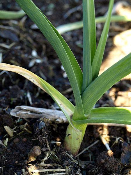 Garden update garlic