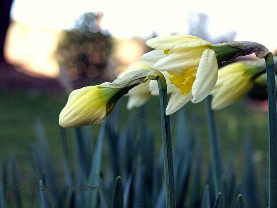 Spring daffodil buds