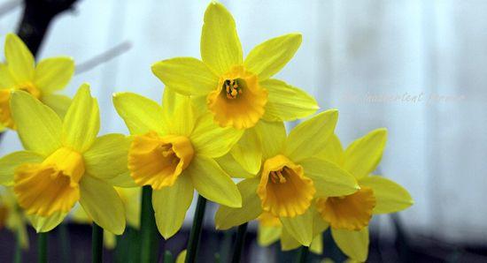 Spring daffodil yellow landscape