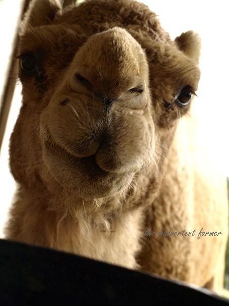Camel bucket feed gizmo