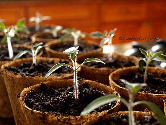 Seedlings tomato coir pots