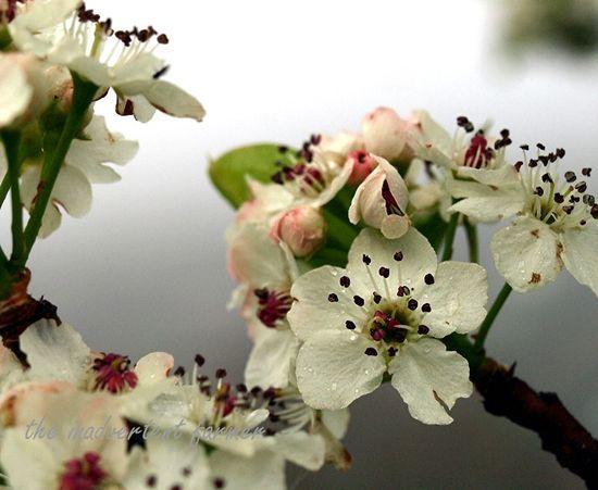 Cherry blossom in spring fog4