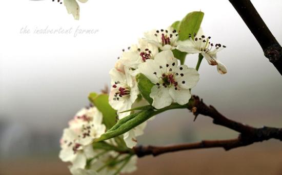 Cherry blossom in spring fog5