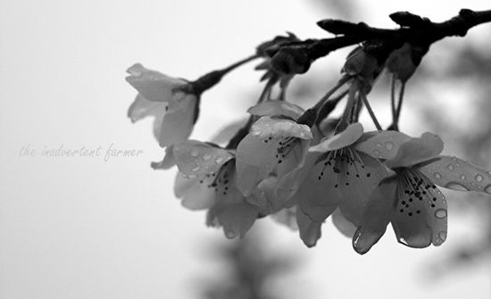 Cherry blossom in spring fog black white2