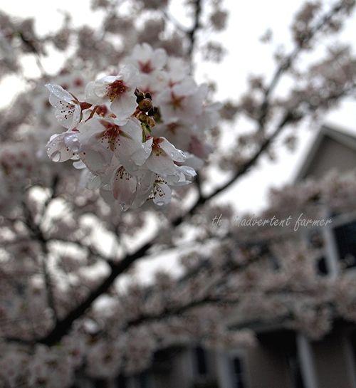 Cherry blossom in spring fog8