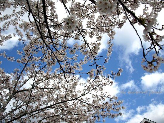 Good garden day blue sky cherry blossoms
