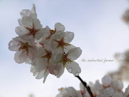 Spring cherry blossom dew sky