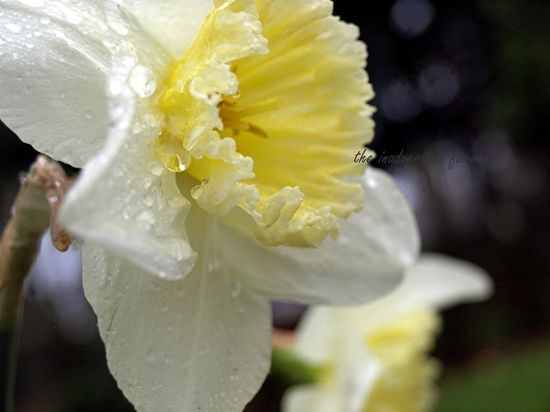 Spring daffodil bloom dew pale yellow