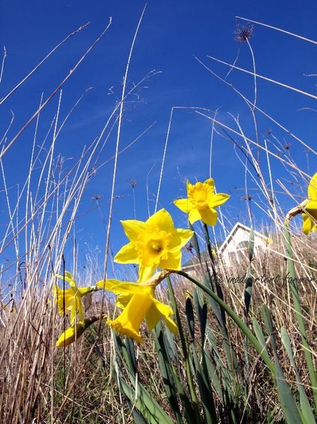 Spring daffodil field pasture sky