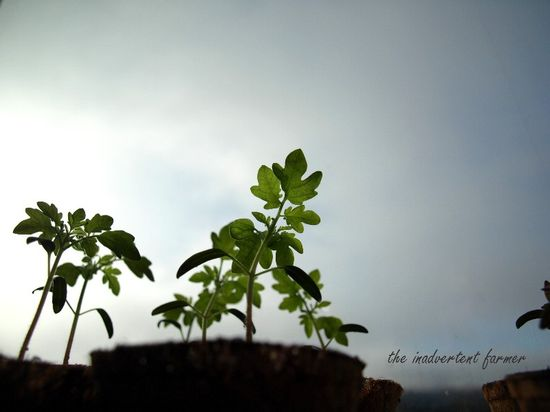 Spring tomato pots sunroom seedlings