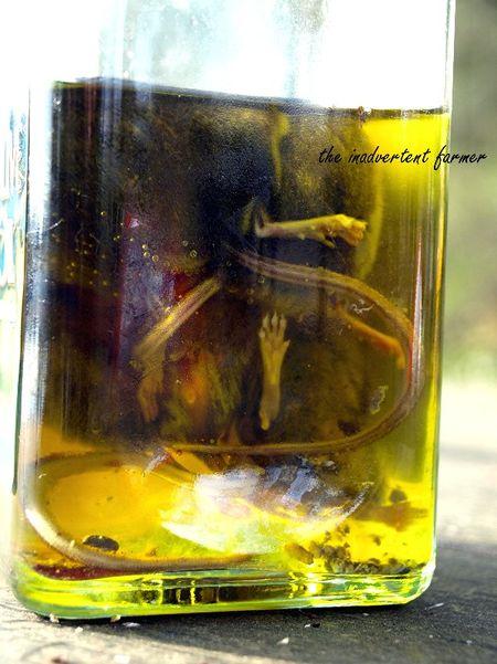 Mice in olive oil1