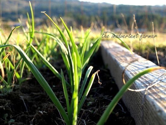Garlic sprouts green winter garden raised bed