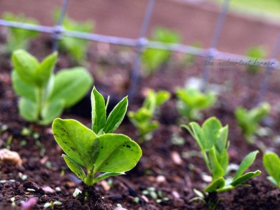 Peas sprouting spring green soil