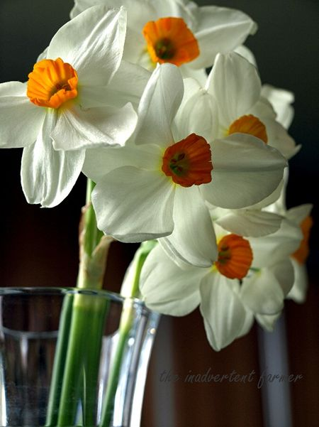 Vase of daffodils1
